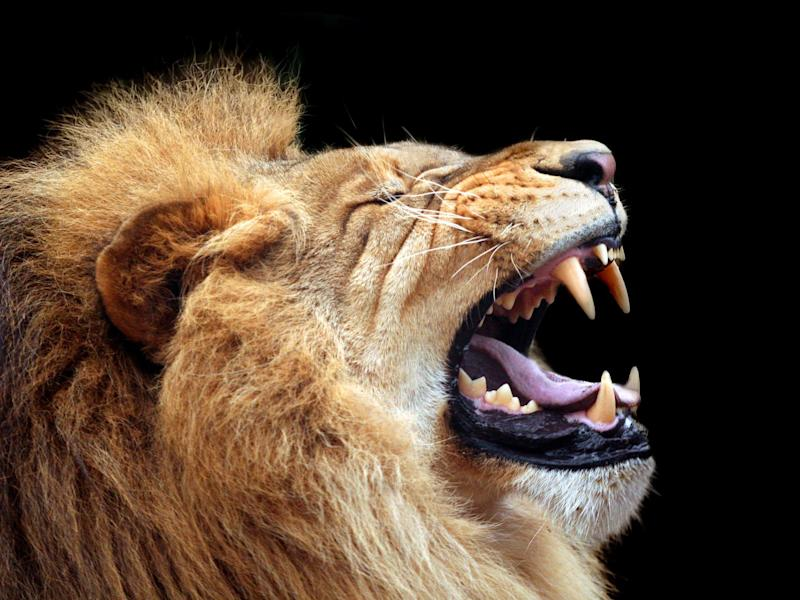 Lion: Getty Images