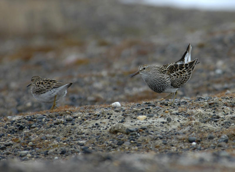 In this image provided by Wolfgang Forstmeier via the Max Planck Institute for Ornithology, a male pectoral sandpiper, right, courting a female on the tundra near Barrow, Alaska. (Wolfgang Forstmeier/Max Planck Institute for Ornithology via AP)