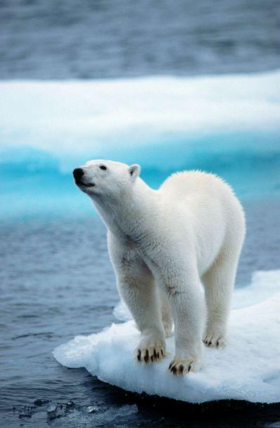PHOTO: A polar bear stands on pack ice floating in the Arctic ocean on the North Pole in 2013. (Universal Images Group via Getty Images, FILE)