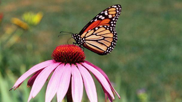 PHOTO: A monarch butterfly collects nectar from a flower in the People's Garden, in Washington, D.C. in 2014. (Smith Collection/gado/Getty Images)