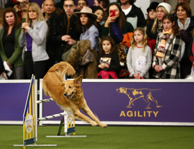 """Golden retriever """"Twist"""" competes in the masters agility championship during the Westminster Kennel Club Dog Show, Saturday, Feb. 9, 2019, in New York. (AP Photo/Noah K. Murray)"""