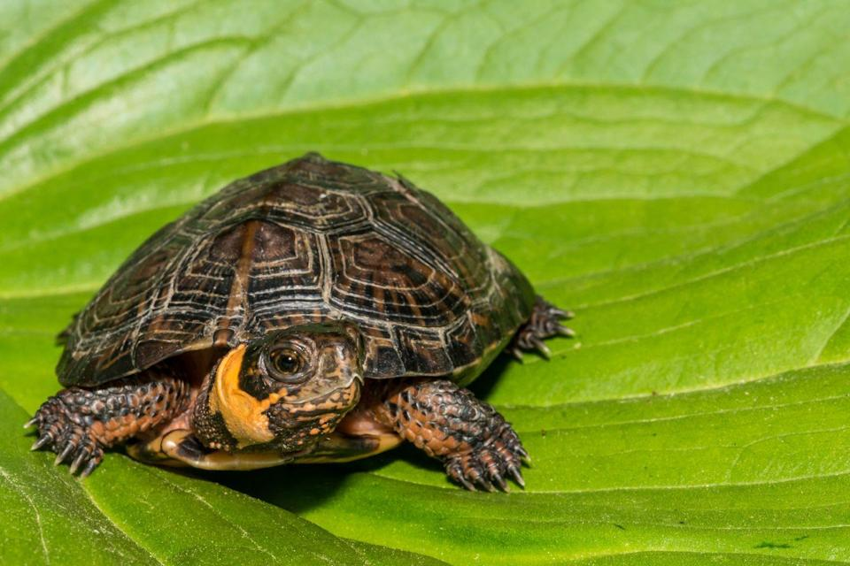 <p><strong>Bog Turtle - </strong>Changes in its habitat have forced its population to decline by 80%. The Bog Turtle is now so rare that it is considered a collectable item and involved in illegal trading. </p>