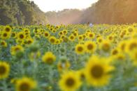 """<p>There's more to see at this gorgeous farm than just sunflowers—though those alone are worth the trip. U-pick berries and a fun Farm Café make it worth the trip nearly year-round.</p><p><a class=""""link rapid-noclick-resp"""" href=""""https://go.redirectingat.com?id=74968X1596630&url=https%3A%2F%2Fwww.tripadvisor.com%2FTourism-g56599-Sadler_Texas-Vacations.html&sref=https%3A%2F%2Fwww.countryliving.com%2Flife%2Ftravel%2Fg21937858%2Fsunflower-fields-near-me%2F"""" rel=""""nofollow noopener"""" target=""""_blank"""" data-ylk=""""slk:PLAN YOUR TRIP"""">PLAN YOUR TRIP</a></p>"""