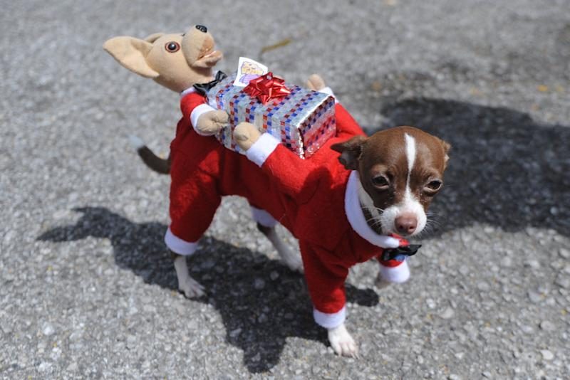 A dog dressed up as Santa Claus is seen during a fancy dress contest in Guatemala city on October 26, 2014. AFP PHOTO Johan ORDONEZ (Photo credit should read JOHAN ORDONEZ/AFP/Getty Images)