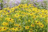 """<p>These sunshine-yellow blooms will be sure to brighten even the darkest winter day. Stars of the late summer <a href=""""https://www.housebeautiful.com/uk/garden/designs/a37209653/sensory-garden/"""" rel=""""nofollow noopener"""" target=""""_blank"""" data-ylk=""""slk:garden"""" class=""""link rapid-noclick-resp"""">garden</a>, they look wonderful in containers and borders alike. </p><p><a class=""""link rapid-noclick-resp"""" href=""""https://www.waitrosegarden.com/plants/_/rudbeckia-fulgida-var-sullivantii-goldsturm/classid.3538/"""" rel=""""nofollow noopener"""" target=""""_blank"""" data-ylk=""""slk:BUY NOW VIA WAITROSE GARDEN"""">BUY NOW VIA WAITROSE GARDEN</a></p>"""