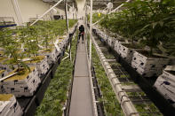 A worker walks down aisles of juvenile cannabis plants at the Greenleaf Medical Cannabis facility in Richmond, Va., Thursday, June 17, 2021. The date for legalizing marijuana possession is drawing near in Virginia, and advocacy groups have been flooded with calls from people trying to understand exactly what becomes legal in July. (AP Photo/Steve Helber)