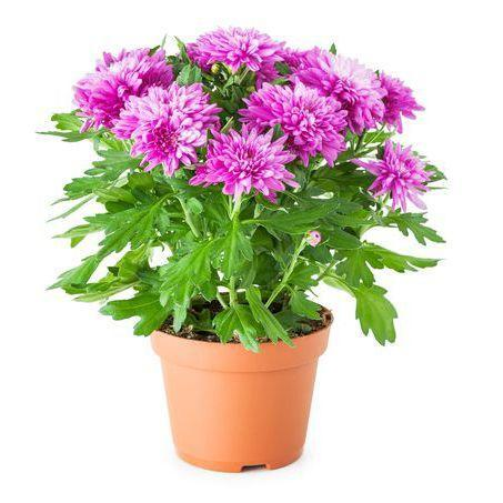 """<p>Though mums are primarily used as outdoor plants, with a little extra love they can thrive inside, where they'll remove benzine and ammonia from the air. Check the soil daily, adding water when the top inch is dry.</p><p><a class=""""link rapid-noclick-resp"""" href=""""https://www.amazon.com/KaBloom-Live-Plant-Collection-Kalanchoe/dp/B073XJ9CBT/ref=sr_1_4?keywords=potted+mum&qid=1564067444&s=gateway&sr=8-4&tag=syn-yahoo-20&ascsubtag=%5Bartid%7C2141.g.28325586%5Bsrc%7Cyahoo-us"""" rel=""""nofollow noopener"""" target=""""_blank"""" data-ylk=""""slk:SHOP POTTED MUMS"""">SHOP POTTED MUMS</a></p>"""