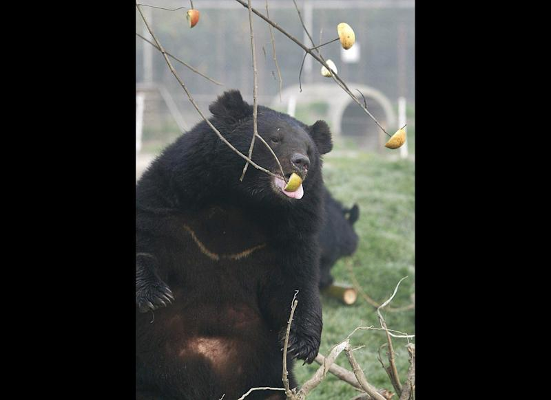 CHENGDU, CHINA: A rescued Black Bear reaches for an apple in a sanctuary at the Moon Bear Rescue Center, 16 December 2002 in Chengdu, Southwest China. The opening of the rescue center for black bears marks a crucial step in a campaign to curb bear bile farming for medical purposes. AFP PHOTO/Frederic J. BROWN (Photo credit should read FREDERIC J. BROWN/AFP/Getty Images)