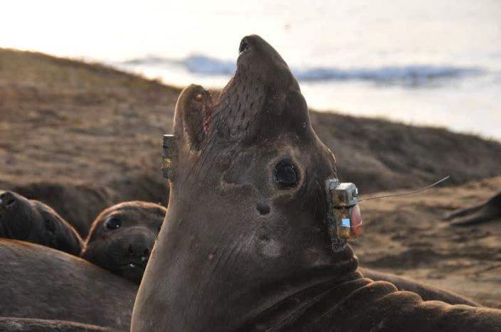 A bio-logging electronic tag is seen attached to the head of a female northern elephant seal at Ano Nuevo State Park