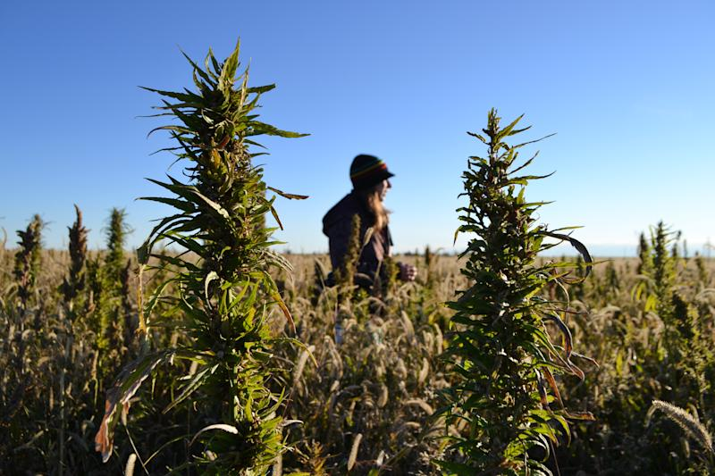 In this Oct. 5, 2013 file photo, a volunteer helps harvest hemp during the first known harvest of the plant in more than 60 years, in Springfield, Colo. The federal farm bill agreement reached Monday Jan. 27, 2014 reverses decades of prohibition for hemp cultivation. Instead of requiring approval from federal drug authorities to cultivate the plant, the 10 states that have authorized hemp would be allowed to grow it in pilot projects or at colleges and universities for research. (AP Photo/P. Solomon Banda, File)