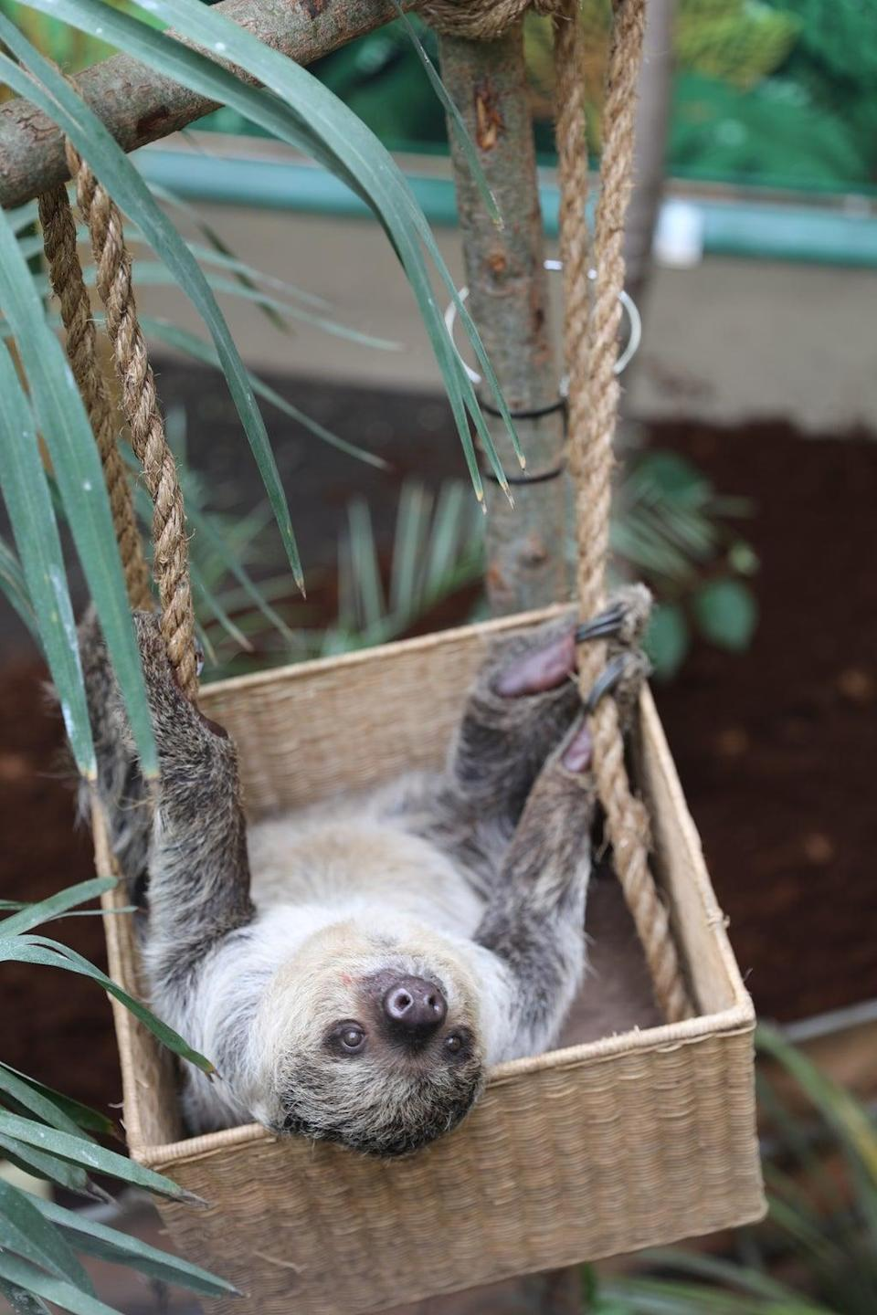 Visitors can now spot the Linne's two-toed sloths (RZSS/PA)