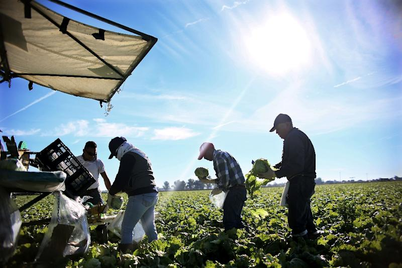 Mexican farm workers harvest lettuce in a field outside Brawley, California (AFP Photo/Sandy Huffaker)