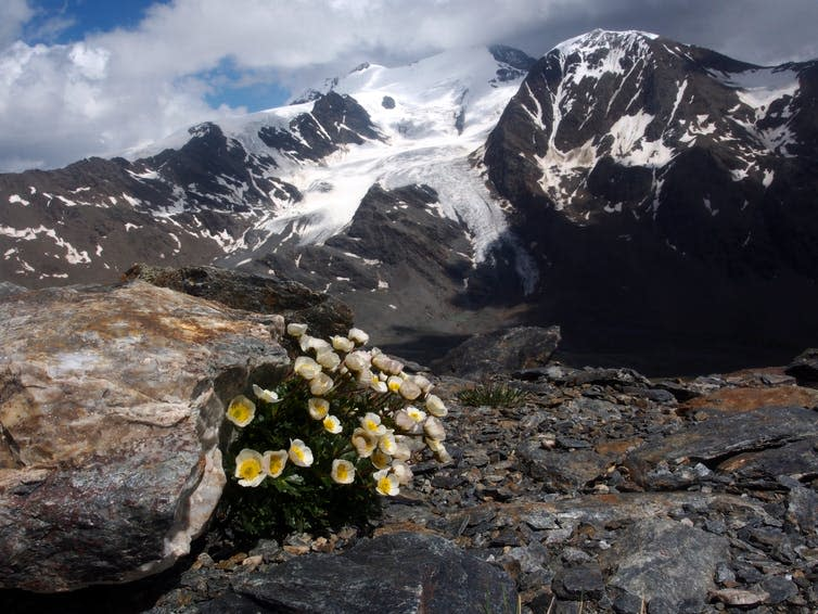 A patch of buttercups in bare rock with a glacier in the background.