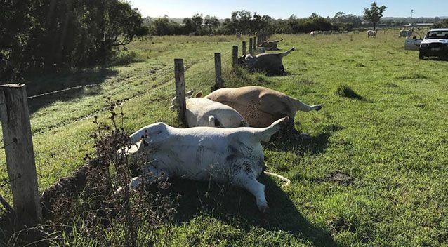 A Queensland farmer who lost six cattle to a lightning strike last month says the incident shows how dangerous storms can be. Source: Derek Shirley