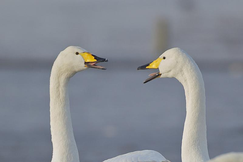 Whooper swans calling at the Welney Wetlands Centre (Wildfowl and Wetlands Trust/PA)