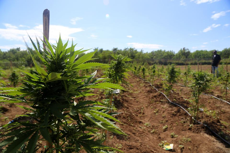 Cannabis plants grow on a farm in Kingston, Jamaica, on Thursday, Dec. 13, 2018. Canadian cannabis producer Aphria Inc. says that a Jamaica marijuana farm is now part of its growing portfolio of international assets, though U.S. short sellers say the company overpaid for 'worthless' operations. Photographer: Ezra Fieser/Bloomberg via Getty Images
