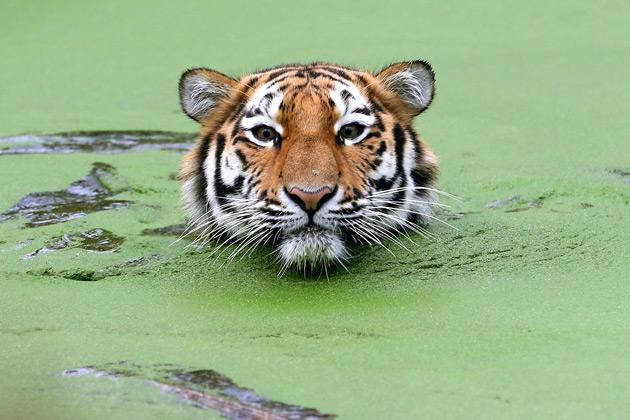 A young Siberian tiger (Panthera tigris altaica) swims in its outdoor enclosure on January 7, 2013 at the zoo in Duisburg, western Germany.  AFP PHOTO / ROLAND WEIHRAUCH