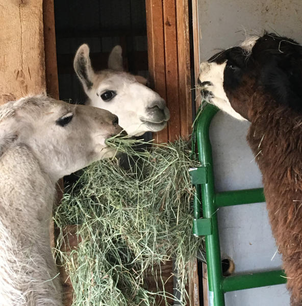 This Sunday, Oct. 28, 2018 photo shows Ike the llama, middle, who was rescued after three months on the loose in Yellowstone National Park, is pictured with other llamas at Yellowstone Llama in Bozeman, Mont. Susi Huelsmeyer-Sinay captured Ike on Sunday, saying she feared he would not survive the winter in the park. Ike's owner, Beau Baty with Wilderness Ridge Trail Llamas of Idaho Falls, Idaho, said Ike's rescuer was going to keep him. (Susi Huelsmeyer-Sinay via AP)