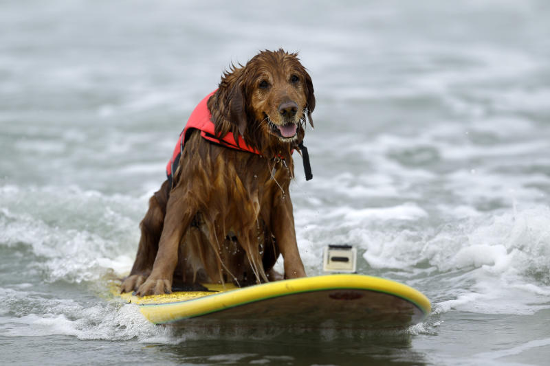 FILE - This June 8, 2012 file photo shows King, a nine-year-old golden retriever rides a wave while surfing in the Incredible Dog Challenge dog surfing competition in San Diego. There are about 95,000 miles of shoreline around the United States and among the most treasured by dog lovers are those where you can unleash the beast. (AP Photo/Gregory Bull, file)