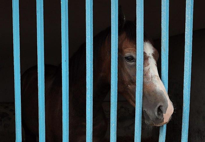 A pure-bred Arabian horse looks from its stable box prior to the start of the annual sale, organized by the National Foundation for the Improvement of The Horses Breed (FNARC) at the National stud farms of Sidi Thabet, Tunisia, 24 September 2021. A total of 50 pure-bred Arabian horses were on sale this year. The FNARC, the former Establishment of the National Stud farms from in 1913, is now a Tunisian public institution created in 1988; the National stud farms of Sidi Thabet, dating back to 1866, are spezialized in breeding the Tunisian Arabian horses.