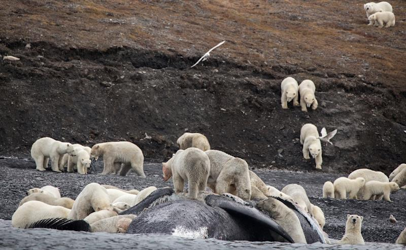 Tourists in the far eastern Russian Arctic spotted some 200 polar bears in September roaming on a mountain slope where they had feasted on a whale carcass, but scientists see the gathering as a sign of the Arctic changing (AFP Photo/Max STEPHENSON)
