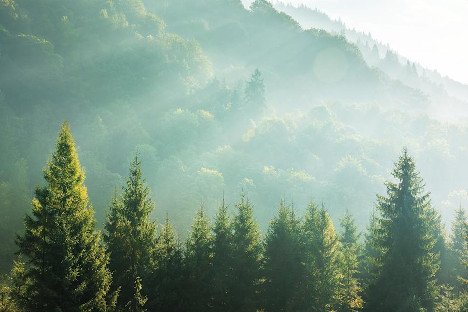 spruce treetops on a hazy morning. wonderful nature background with sunlight coming through the fog. bright sunny atmosphere