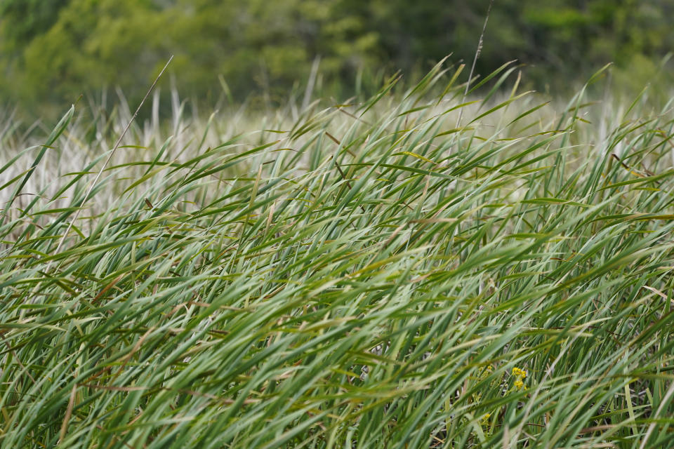 Smooth cordgrass, planted by McIlhenny Company employees and volunteers, as a marsh conservation effort, is seen on Avery Island, La., where Tabasco brand pepper sauce is made, Tuesday, April 27, 2021. (AP Photo/Gerald Herbert)