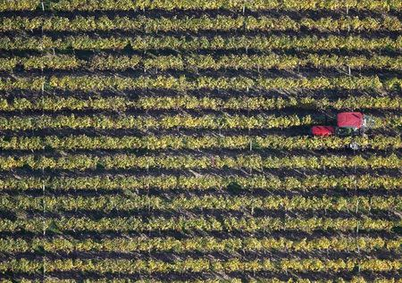 A tractor makes its way through vineyards which produce grapes for the Puisseguin-Saint Emillion wine as fair weather continues during the autumn season in Puisseguin, near Bordeaux, France, in this October 23, 2015 file photo.  REUTERS/Regis Duvignau/Files