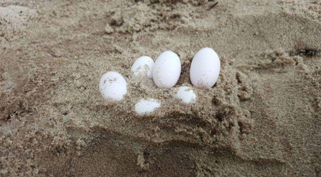 After three days of searching, 43 eggs were found. Source: FAWNA
