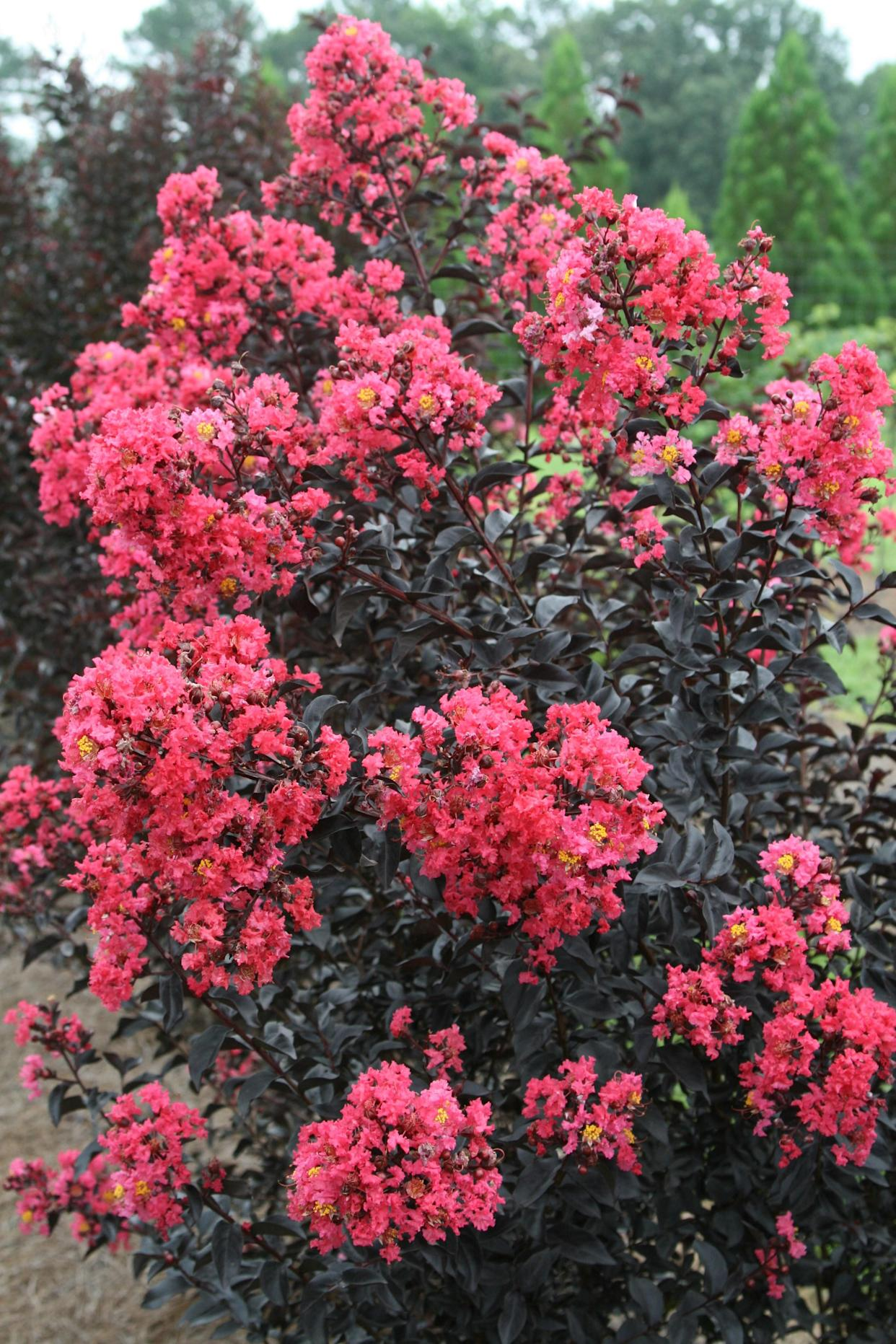 "<div class=""caption""> Midnight Magic, a kind of container-friendly crepe myrtle. </div> <cite class=""credit"">Photo: Courtesy of Bailey Nurseries</cite>"