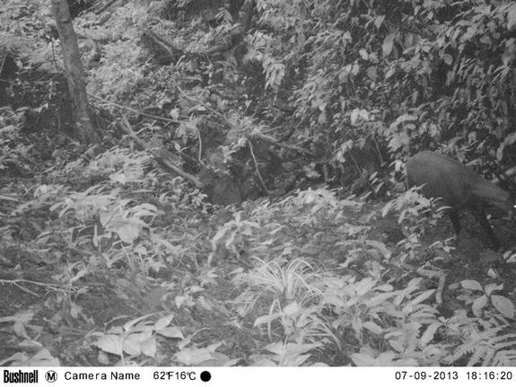 A camera trap photo taken on Sept. 7, 2013, shows a single saola moving along a rocky forest valley stream in a remote corner of the Central Annamite mountains of Vietnam.