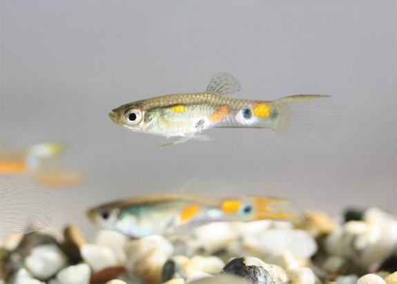 Researchers found male guppies preferred courting females surrounded by relatively drab males, something that not only made them look more attractive, but also landed them more action.