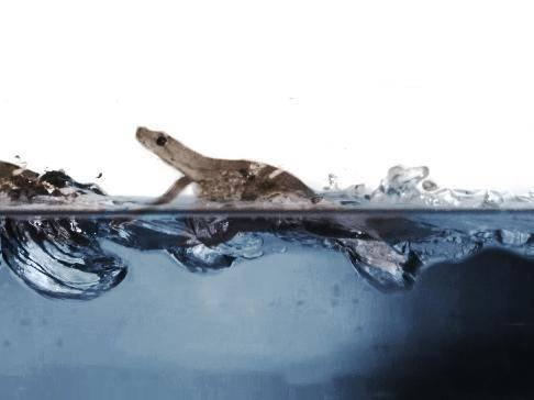High speed video was able to capture the motions the geckos used as they traversed the water surface (Cell Press)