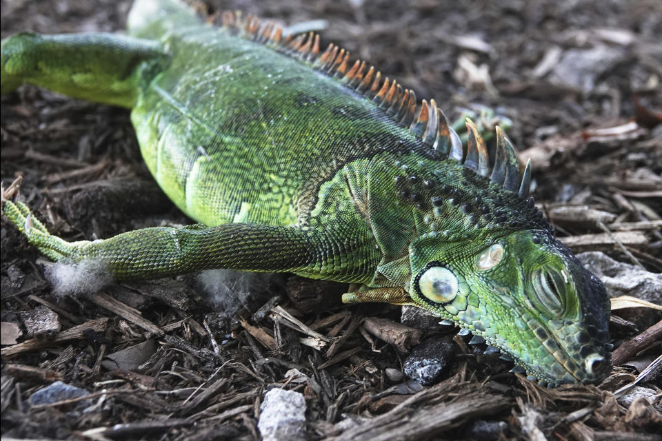 A stunned iguana lies in the grass at Cherry Creek Park in Oakland Park, Florida.