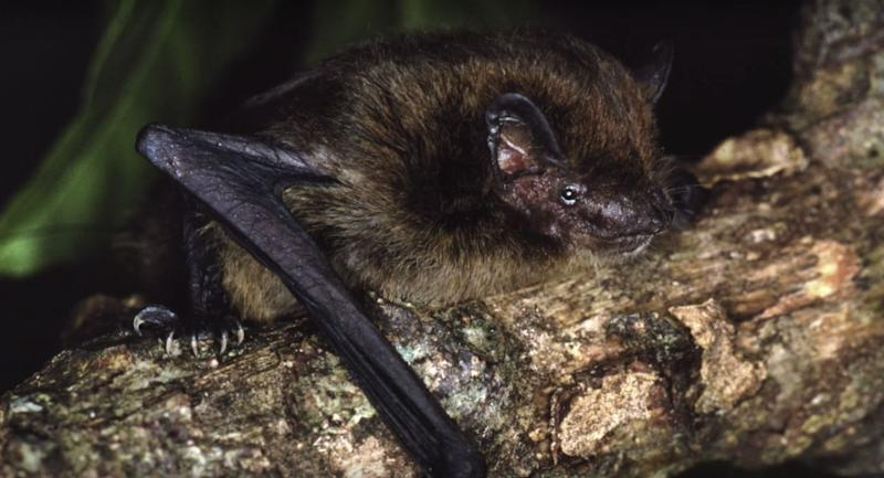 "For at least a million years, the tiny <a href=""http://www.iucnredlist.org/details/136769/0"" target=""_blank"">Christmas Island pipistrelle</a> had lived on the Australian territory whose name it bears. The <a href=""https://www.youtube.com/watch?v=dBdfvdsK8s8&amp;t=24s"" target=""_blank"">micro-bat</a>, which weighed about 3 grams (lighter than a nickel), had long thrived on the island, feeding on insects and roosting in large groups in tree hollows and decaying vegetation. <br /> <br /> But its numbers started to dwindle in the 1980s, and by 2006, the pipistrelle population had plunged to about 50. In the years that followed, this &ldquo;decline continued at an alarming rate,&rdquo; according to the IUCN. In 2009, only 20 remained. <br /> <br /> The cause of the bats&rsquo; demise is not entirely clear, though several invasive, introduced species, including black rats and feral cats, have been pinpointed as possible culprits. The island&rsquo;s&nbsp;<a href=""http://www.dailymail.co.uk/news/article-3434891/The-bizarre-wildlife-Christmas-Island.html"" target=""_blank"">crazy ants</a>&nbsp;could also have been part of the problem. <br /> <br /> What is known, however, is that in 2009, scientists raised a red flag about the bats, <a href=""http://www.iucnredlist.org/details/136769/0"" target=""_blank"">warning</a> the Australian government that &ldquo;without urgent intervention there is an extremely high risk that this species will go extinct in the near future.&rdquo; They sought permission to capture the remaining bats&nbsp;for a captive breeding program. <br /><br />Government officials <a href=""https://news.mongabay.com/2012/05/island-bat-goes-extinct-after-australian-officials-hesitate/"" target=""_blank"">hemmed and hawed</a>, initially rejecting the request. It took several months before the approval was granted. <br /> <br /> Tragically, it was too little, too late. By the time the researchers returned to Christmas Island to search for the bats, they were only able to find a single animal. <br /> <br />On Aug. 27, 2009, that last remaining&nbsp;bat&nbsp;disappeared. <br /> <br /> &ldquo;Australian politics, and the bureaucracy that supports it, is failing in one of its most fundamental obligations to future generations: the conservation of our natural heritage,&rdquo; <a href=""http://www.smh.com.au/environment/conservation/unmourned-death-of-a-sole-survivor-20121116-29hbg.html"" target=""_blank"">wrote</a> Australian environmentalist Tim Flannery following the pipistrelles&rsquo; extinction. &ldquo;Australians need to take a look at ourselves.&rdquo; <br /><br /> The pipistrelle had been Christmas Island&rsquo;s only bat &mdash; one that consumed its body weight in insects every night. Scientists say its extinction could disrupt the ecological balance of the island."
