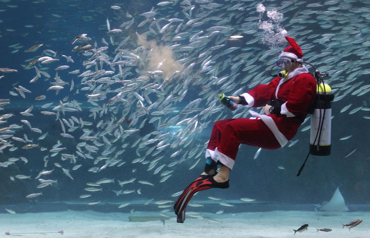 SEOUL, SOUTH KOREA - DECEMBER 08:  A South Korean diver clad in Santa Claus costume swims with sardines at The Coex Aquarium on December 8, 2012 in Seoul, South Korea. Even though the official religion of South Korea is Buddhism, about 30 percent of it is Christian and Christmas is one of the biggest holidays to be celebrated in South Korea.  (Photo by Chung Sung-Jun/Getty Images)