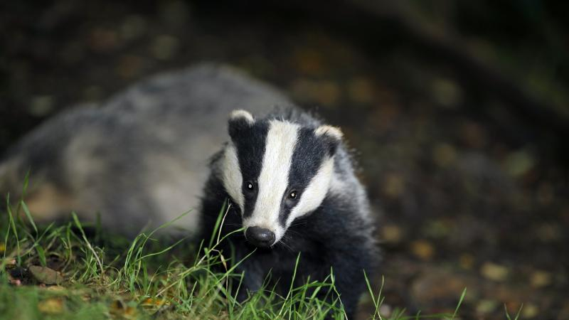 Badger culling rolled out to 11 new areas to tackle TB in cattle