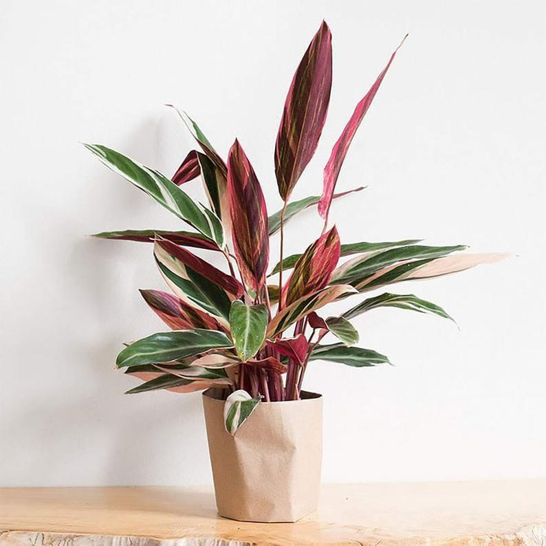 <p>The pink leaves on the <span>Stromanthe Aanguinea Tri-Color Rare Houseplant</span> ($46) won't go unnoticed. </p>