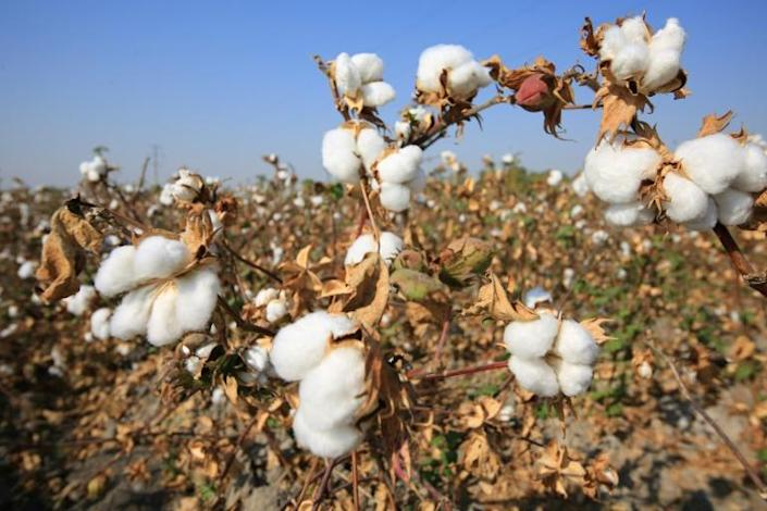 Uzbekistan is eradicating forced labour in its lucrative cotton industry (AFP Photo/Yuriy Korsuntsev)