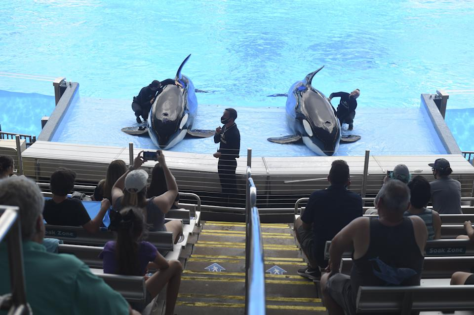 Orcas seen in a pool at a theme park as crowds watch on.
