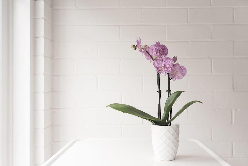 "<p>Orchids are, after all, tropical plants so they will cope with humidity. They do, however, like drier soil so these will do better in a larger, airier bathroom where the air can dry out. Pop it on a windowsill in bright, indirect light and it will be happy. </p><p><a class=""link rapid-noclick-resp"" href=""https://go.redirectingat.com?id=127X1599956&url=https%3A%2F%2Fwww.crocus.co.uk%2Fplants%2F_%2Fphalaenopsis-grandiflorum-ravello%2Fclassid.2000028807%2F&sref=https%3A%2F%2Fwww.countryliving.com%2Fuk%2Fhomes-interiors%2Finteriors%2Fg33454786%2Fbathroom-plants%2F"" rel=""nofollow noopener"" target=""_blank"" data-ylk=""slk:BUY NOW"">BUY NOW</a></p>"