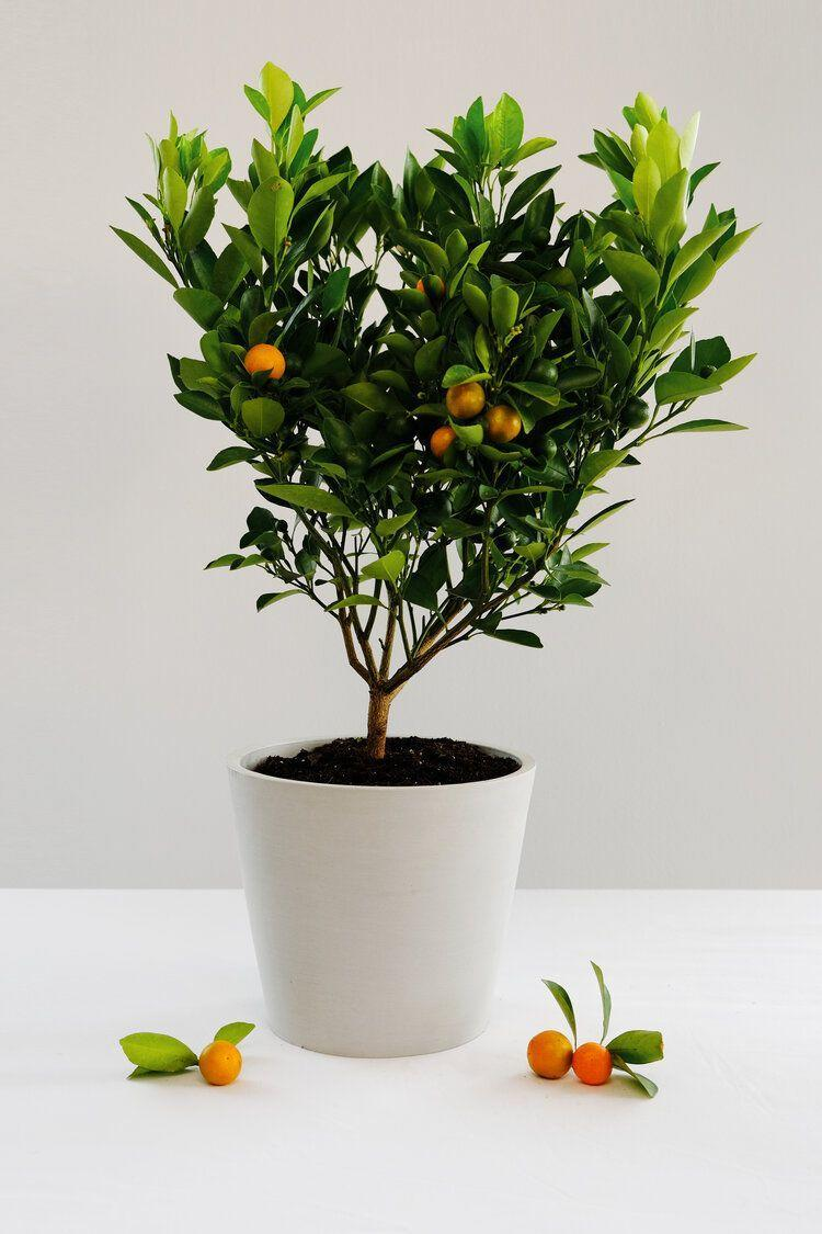 """<p><strong>Via Citrus</strong></p><p>viacitrus.com</p><p><strong>$65.00</strong></p><p><a href=""""https://www.viacitrus.com/trees/calamondin"""" rel=""""nofollow noopener"""" target=""""_blank"""" data-ylk=""""slk:Shop Now"""" class=""""link rapid-noclick-resp"""">Shop Now</a></p><p>Yes, you need a fruit tree in your kitchen. Calamondin is basically the child of a mandarin orange and kumquat. It takes about six months to see the fruit grow (if you take proper care of it, ofc!). </p>"""