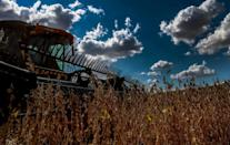 Working side by side, combine harvesters have been tracing giant belts of white across the golden fields, cropping the sea of soybeans under a bright blue sky