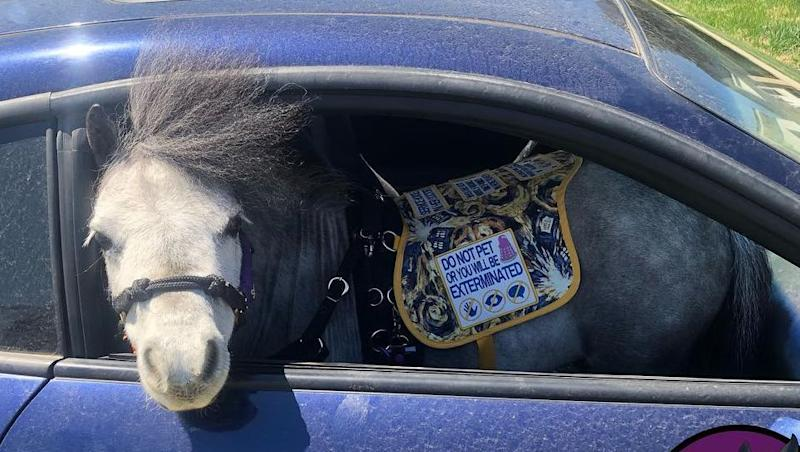 Flirty, The Mini Horse, Accompanies Passenger On Plane | The Laurie DeYoung Show