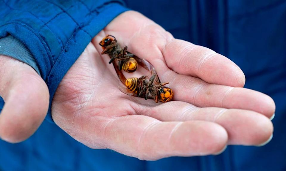 A Washington state department of agriculture worker holds two of the dozens of Asian giant hornets vacuumed from a tree.