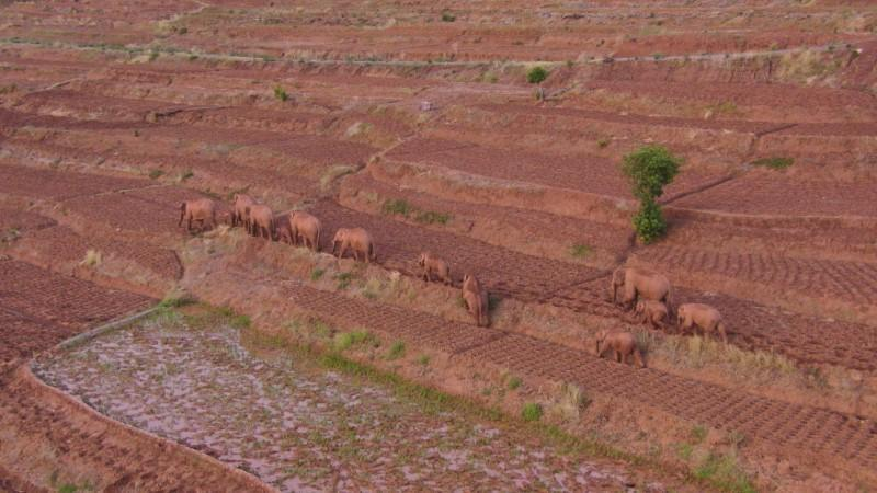 Aerial view shows wild Asian elephants in Jinning district of Kunming