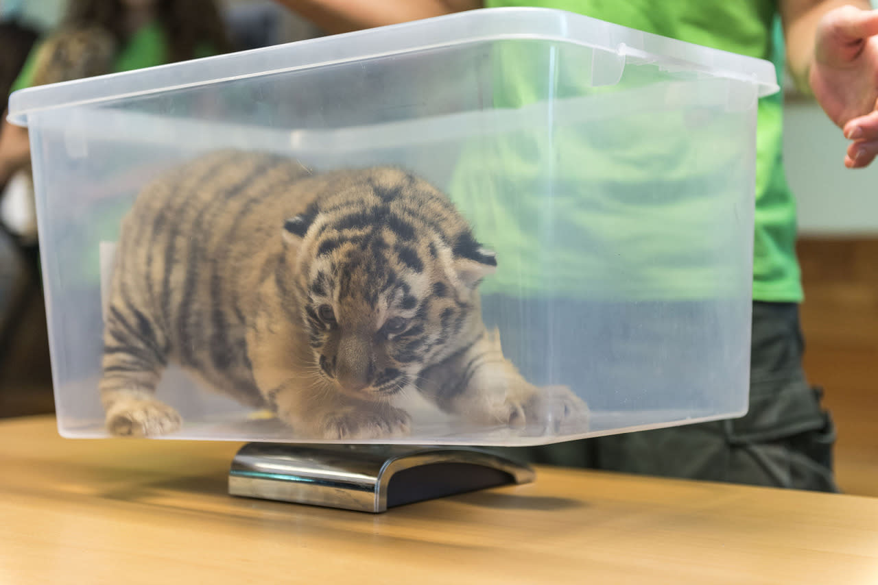 <p>A Siberian tiger (Panthera tigris altaica) cub is weighed during a routine medical check in Veszprem Zoo in Veszprem, 108 kms southwest of Budapest, Hungary, June 15, 2016. The cub is one of the two that were born on zoo premises two weeks earlier. (EPA/BOGLARKA BODNAR) </p>
