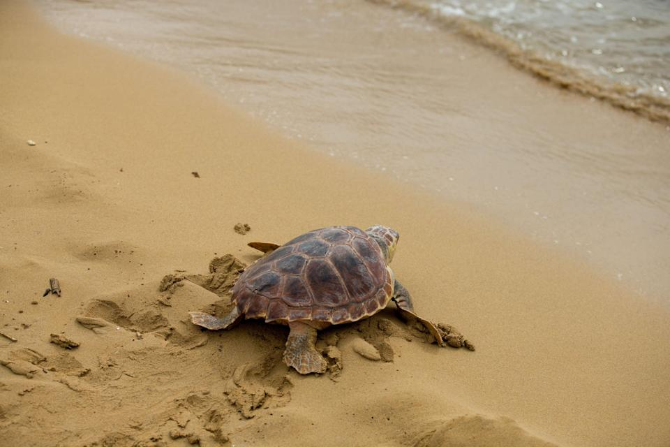 Plastic creates an evolutionary trap for young sea turtles, the study suggests (Steve Parsons/PA) (PA Archive)
