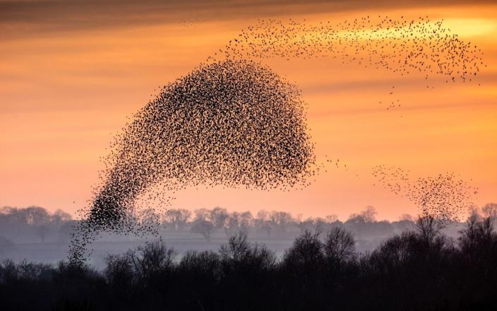 A mumuration of starlings swoop over marshlands in Somerset. The species is one of four to number over a billion individual birds