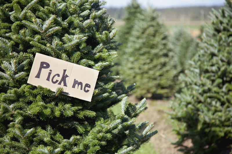 Christmas Tree Types.12 Types Of Christmas Trees To Know Before Heading To The